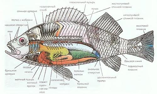 Эндокринная система рыб включает в себя гипофиз, поджелудочную железу,   надпочечники, половые железы, щитовидную и околощитовидную железу.