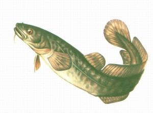Налим- это рыба семейства тресковых