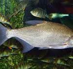 Тело леща высокое (около 1/3 длины), сильно сжатое с боков. Голова небольшая, рыло короткое. Рот полунижний, маленький, заканчивающийся выдвижной ротовой трубкой