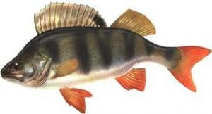 Окунь - это рыба семейства  окуневых. Его длина до 50 см, масса до 1,5 кг, иногда бывает больше. Тело высокое, сжатое с боков, голова большая .