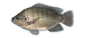 рыба Святого Петра это библейская рыба, которой Христос накормил 5 тысяч голодных