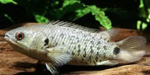 Эту рыбку-чудачку называют анабас или рыба-ползун.