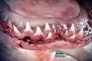 Пасть этой рыбы усеяна мелкими, но острыми зубами, и при встрече с ней остаться в живых – удача.