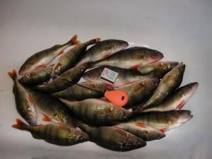 Рыбалка в глухозимье дается с трудом, особенно это касается окуня