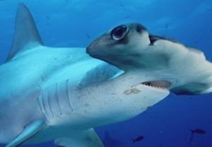 Конечно же, самое интересное и необычное, что характеризует рыбу-молот – это ее голова