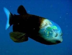 Она просто -  рыба с прозрачной головой