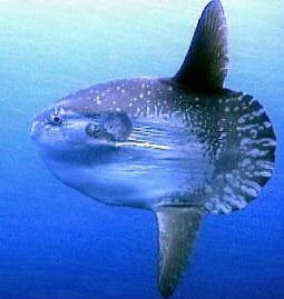 Это единственная рыба, у которой высота превышает длину.
