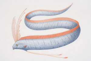 Эту рыбу еще называют морской змей, морским  чудовищем