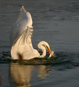 Для чайки, цапли, баклана, альбатроса, пеликана рыбная ловля – дело привычное.