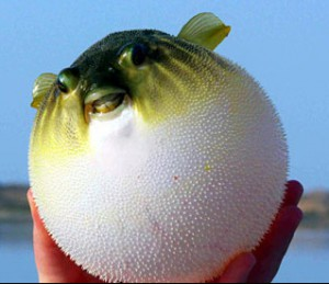 Оказывается это высушенная рыба-шар под названием фахак.