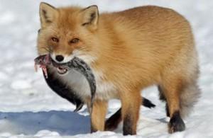 Но кроме медведей рыбку любят и волки, и лисы.