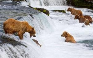 А для медведей – рыба просто деликатес.