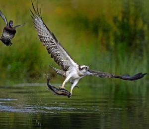 Аист, зимородок, скопа, орлы тоже занялись рыбалкой.