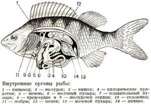 Плавательный пузырь рыбы – это один из внутренних органов