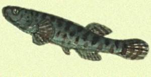 Вопреки всем научным спорам и исследованиям в студеную полярную ночь черная рыба – даллия  замерзает, что бы весной воскреснуть и снова жить.