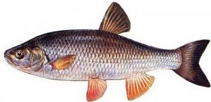 Голавль – рыба энергичная, сильная, принадлежит к семейству карповых.