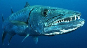 Барракуда – это морская рыба.