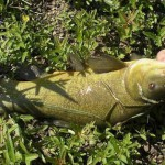 Ловить линя надо поплавочной удочкой с тонким поводком и небольшим чувствительным поплавком.