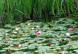 Растения водоемов  играют важную роль в жизнедеятельности рыб.