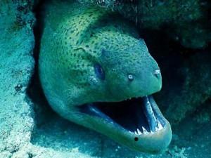 Мурена  - морская рыба, обитающая в Индийском и Атлантическом океанах