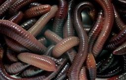 Дождевые черви могут достигать длины 25 см.