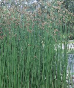 Камыш озерный – это многолетнее растение