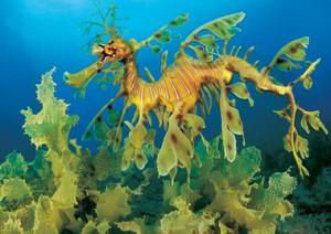 Морской дракон имеет несколько имен.