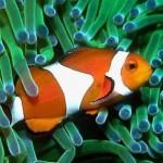 Рыба-клоун среди щупалец актинии
