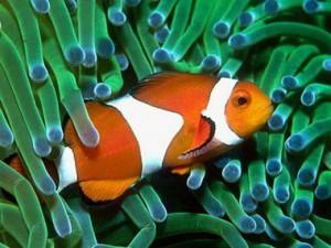 Большую часть жизни эти рыбки живут между щупальцами опасной морской актинии