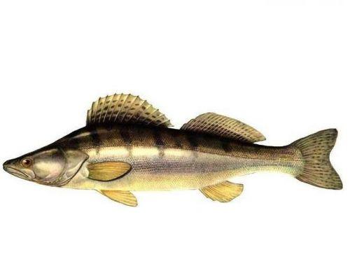 Судак является крупной, хищной рыбой из семейства окуневых. Может нагуливать вес до 20 кг и бывает до 130 см в длину.