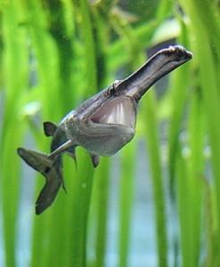 Веслонос – это пресноводная, относящаяся к отряду  осетрообразных, рыба.
