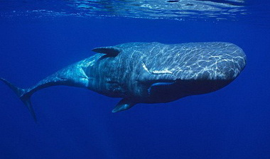 Кашалот – удивительное морское животное.