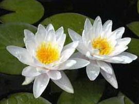 Кувшинка белая, водяная лилия, нимфея белая, «северный лотос» растение необыкновенное и красивое.
