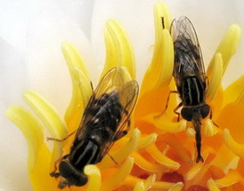 Цветы лилии опыляются различными насекомыми, но больше всего жуками, которые, поедая пыльцу, обсыпаются ею