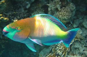 Рыба-попугай – это вид рыбы, который относится к отряду окунеобразные.