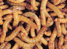 Мучной червь является хорошей наживкой для такой рыбы как карась, густера, плотва.