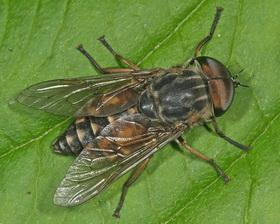Слепень  - это такое вредное насекомое, которое  постоянно надоедает, больно кусается, не дает спокойно посидеть на берегу реки или озера.