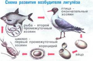 Лигулёз является одной из болезней, которую переносят птицы. В зараженной рыбе паразитируют личинки –лигулы, которые имеют название плероцеркоиды
