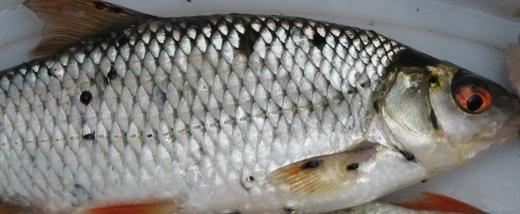 На фотографии изображена плотва, на которой есть чёрные пятна – эта рыба больна и заболевание имеет название постодистопломоз  или чёрно – пятнистое заболевание.