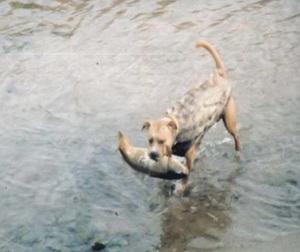Собак специально стали натаскивать для того, чтобы те загоняли рыбу в заранее подготовленные ловушки и собака на рыбалке оправдывает надежды хозяина.