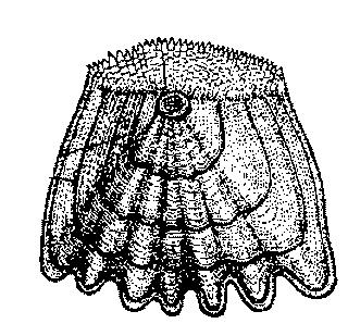 Ктеноидная  чешуя рыбы тоже  встречается у костистых рыб и не имеет слоя ганоина