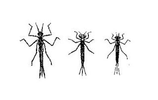 """Личинка равнокрылой стрекозы   """"лютка""""  имеет небольшой размер, тело у неё тёмно- зелёное, которое оканчивается тремя лепестками"""