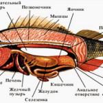 Mochepolovaya-sistema-ryib