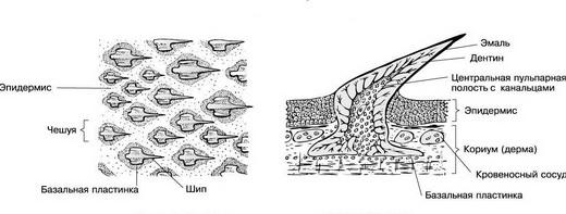 Чешуя рыбы – это костные или хрящевые образования, находящиеся в коже рыбы.