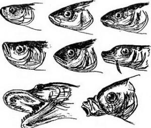 Существуют 3 типа расположения рта рыбы: