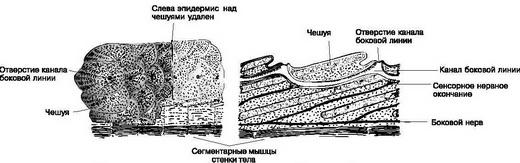 Циклоидная чешуя имеет округлую шейку с гладкой поверхностью.