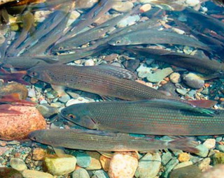 Поведение рыб